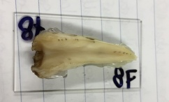 Photo of a Northern bottlenose whale tooth
