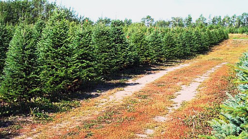 International Christmas Tree Research And Extension