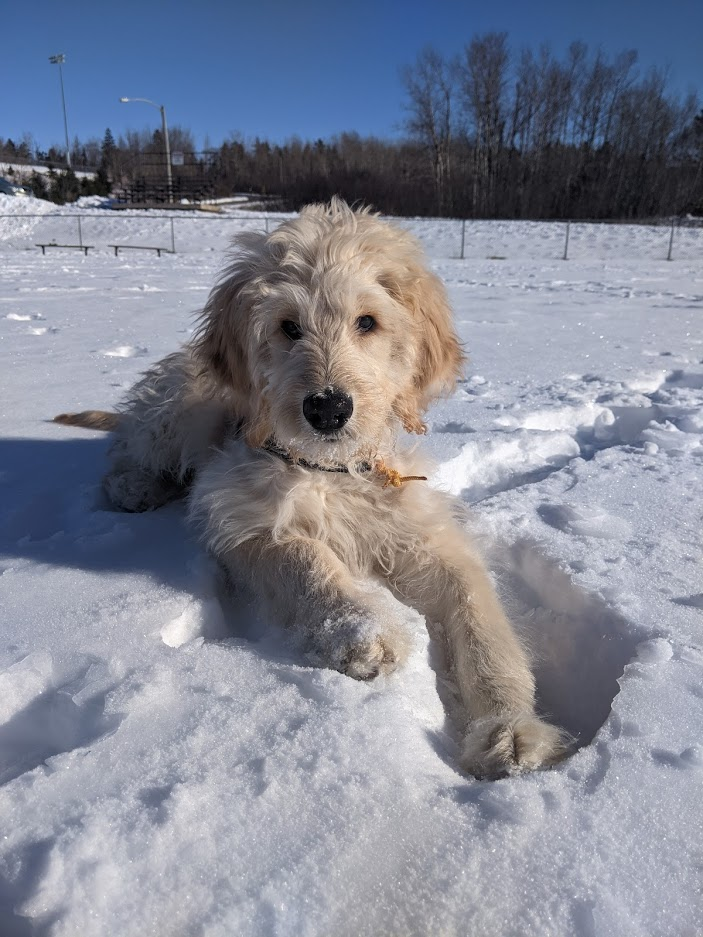 Leo the goldendoodle