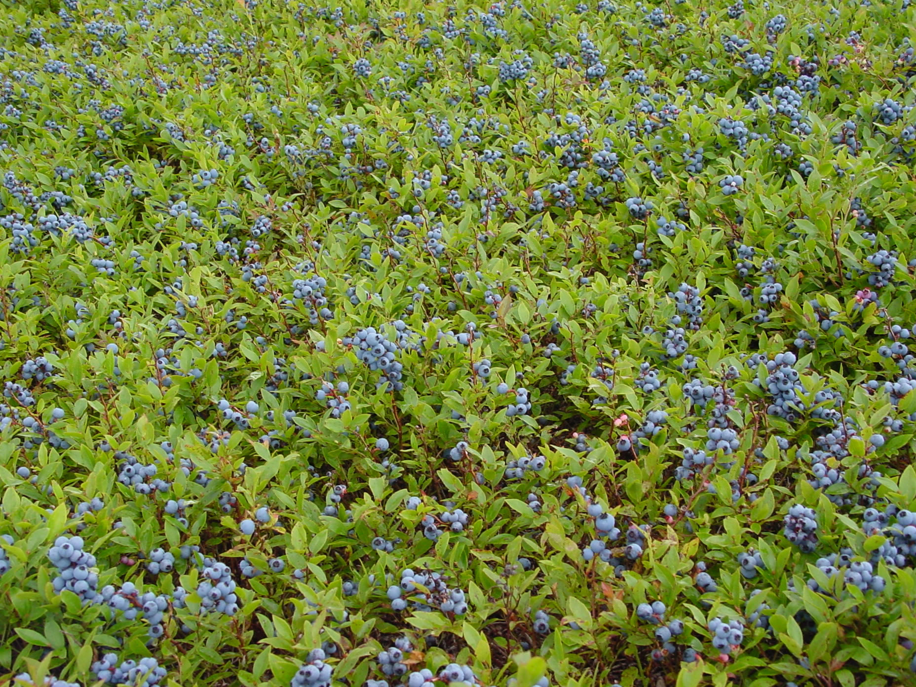 Wild Blueberries Images
