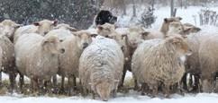 oacc-ad-sheep