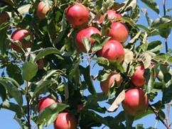 oacc-pow-apple
