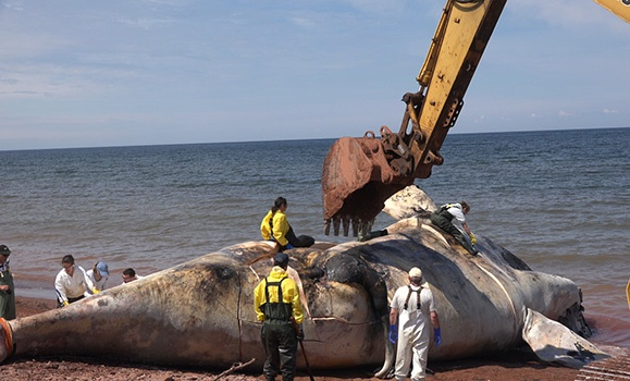 Under the skin: Dal researchers work to determine cause of death for North Atlantic Right Whales