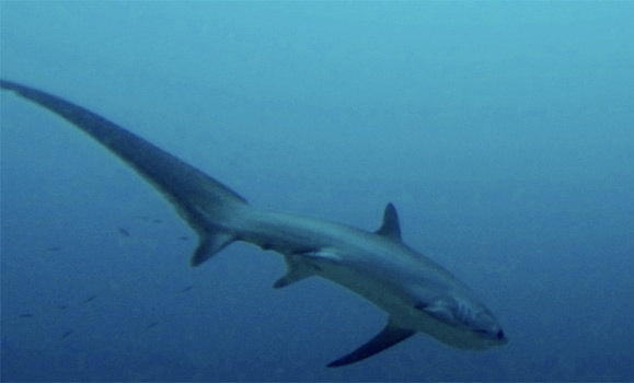 Big‑eyed thresher shark provides students rare study opportunity