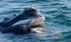 Right whales may abandon protected feeding habitats in search of food