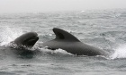 "Pilot whale families ""babysit"" each other's young"