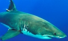 Citizen science helps detects sharks earlier