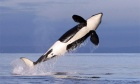 Quieter ships could help Canada's endangered orcas recover