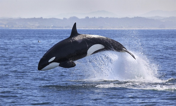 """""""Free Willy"""" law spotlights contradictions in how Canadians see animal rights"""