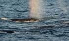 Following the food trail to help right whales