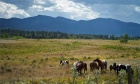 Wild horses or pests?