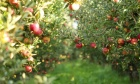 How a few good apples spawned today's top varieties — and why breeders must branch out
