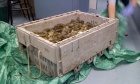 Dal research suggests green crab is risky bait for lobster industry